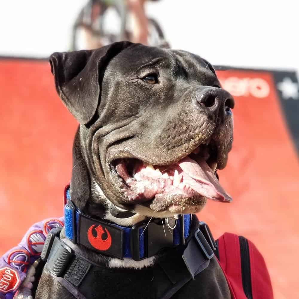 Bandogge Mastiff wearing a service dog patch collar looking away from camera