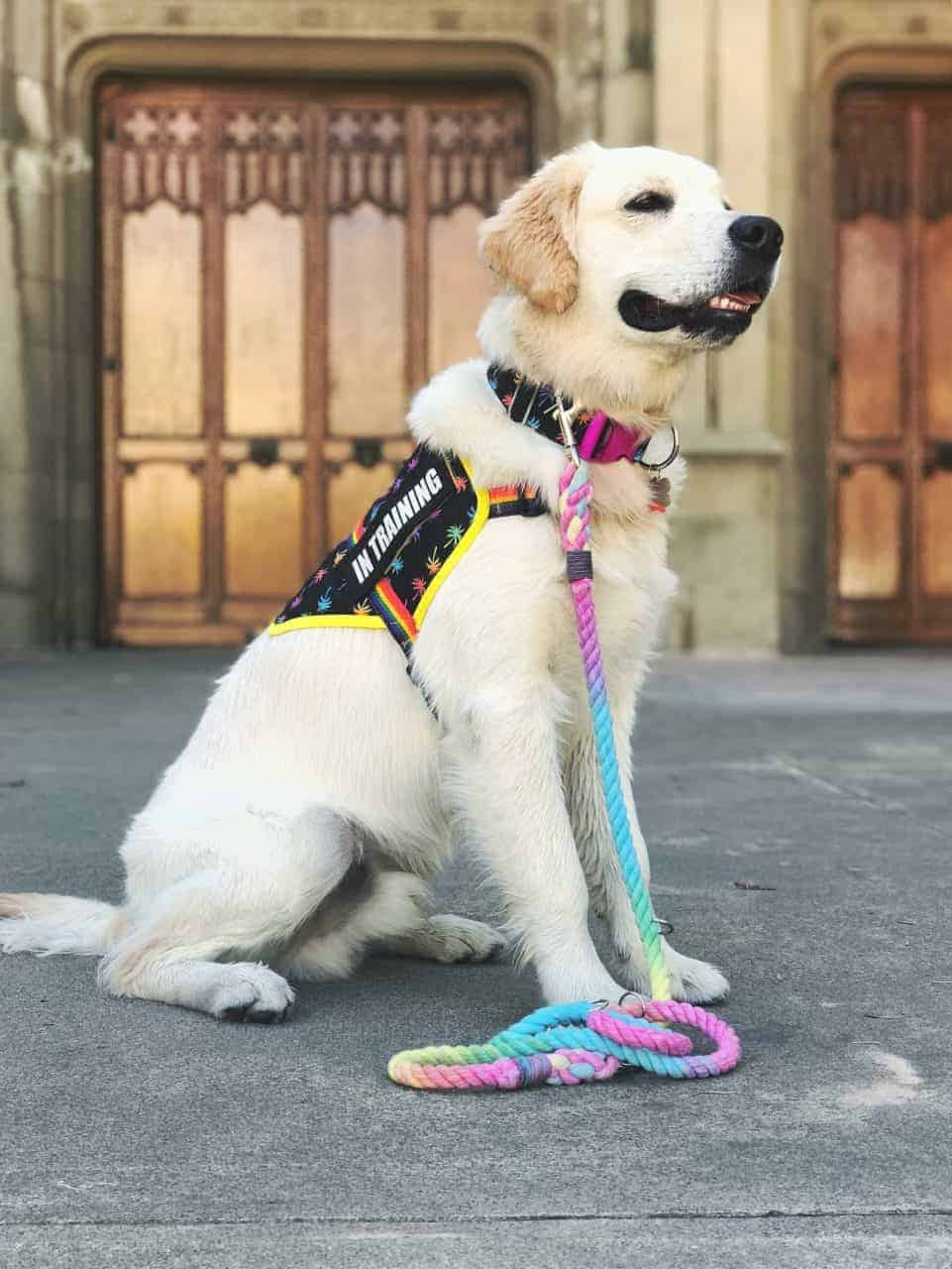 English Creme Golden Retriever wearing a rainbow service dog vest and leash in front of an old wooden door.