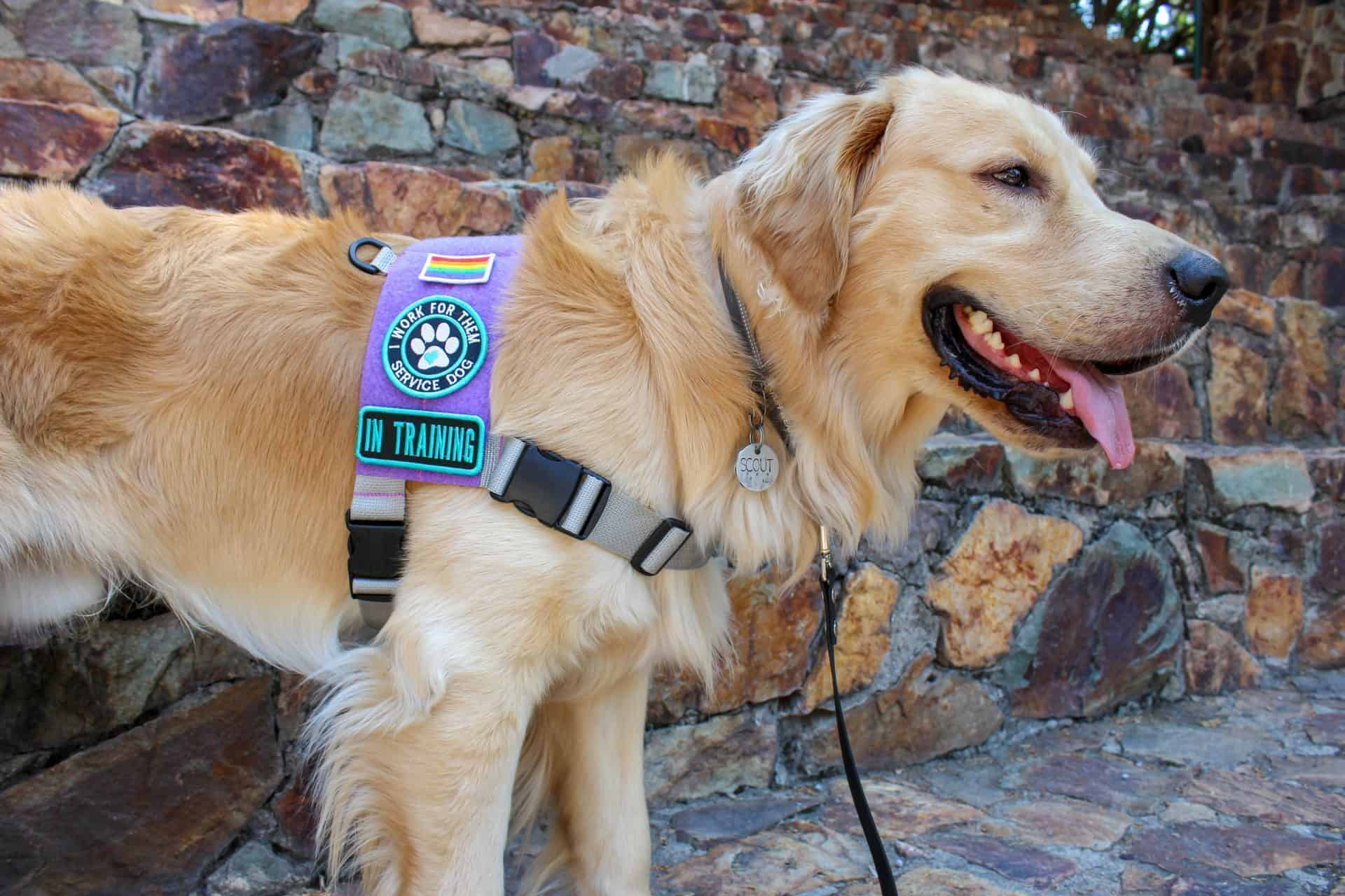 Golden retriever with his mouth open wearing a light purple and grey service dog vest.