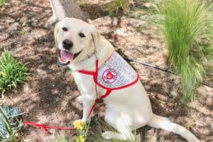 Yellow lab wearing a therapy dog vest with his tongue out in a garden