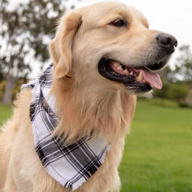 Ash Frayed Dog Bandana