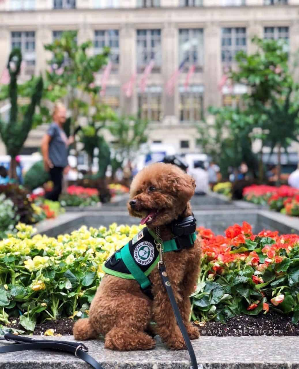 Mini poodle wearing a black and green service dog vest in front of yellow and red flowers
