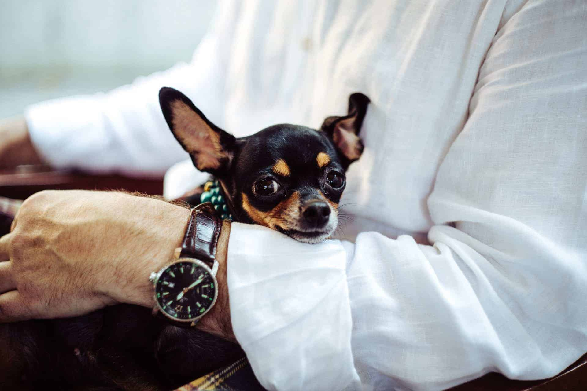 Small black and tan chihuahua dog in man's arms with a white long sleeve shirt wearing a watch