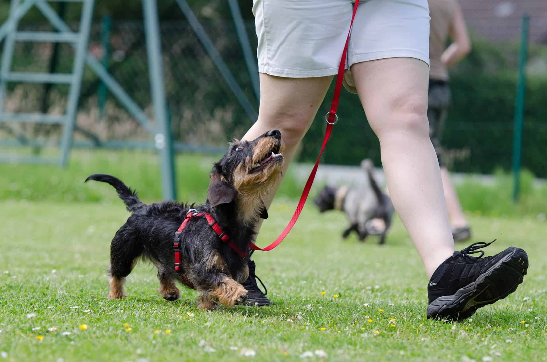 Small black and tan dachshund wearing a red harness and red leash being walked on a field with an owner wearing black sneakers