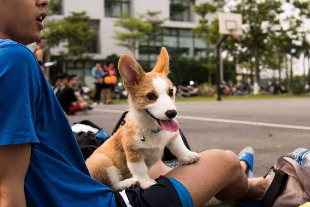 A man wearing a blue shirt has a small corgi sitting on his lap with it's tongue out with a basketball court in the background