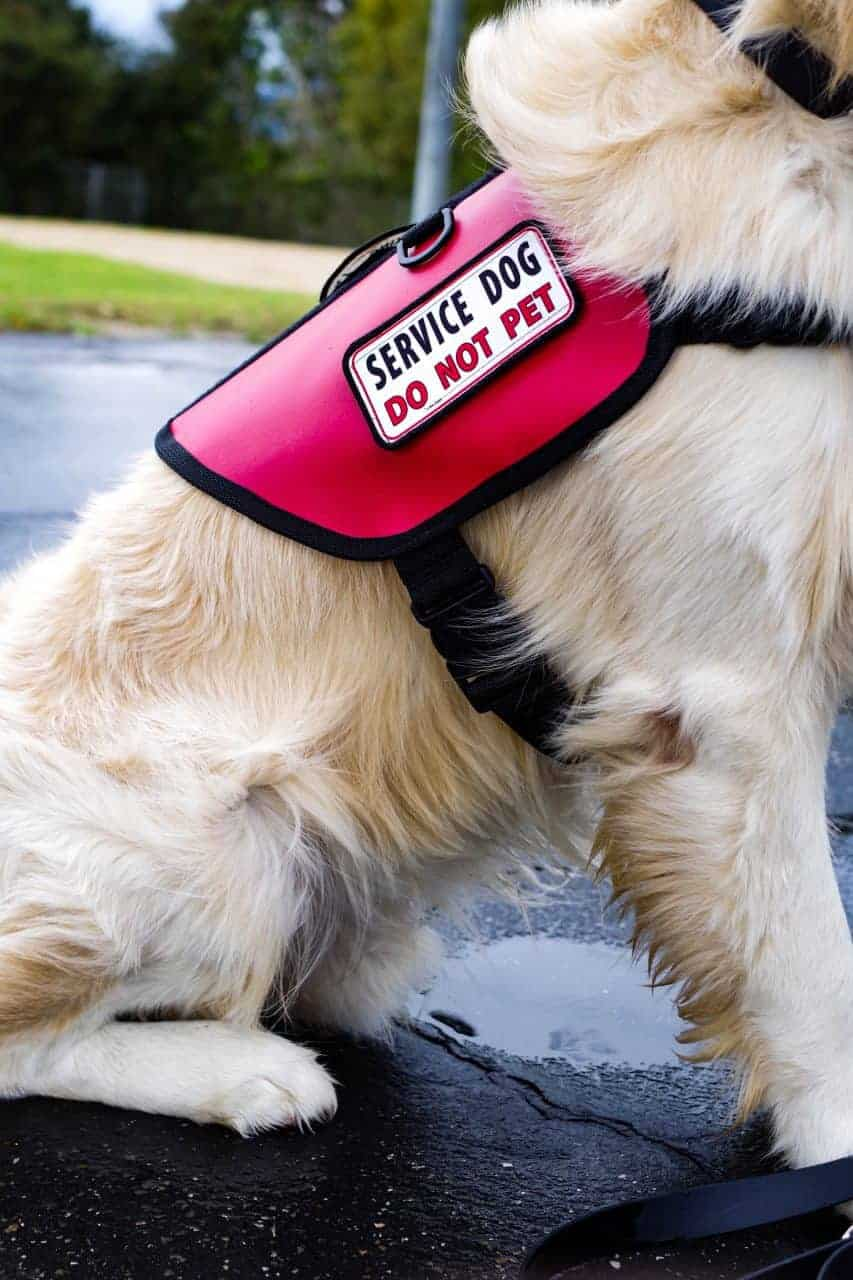 Golden retriever wearing a red and black vest with a service dog do not patch