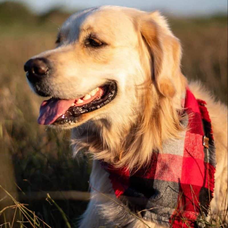 Romeo Frayed Dog Bandana