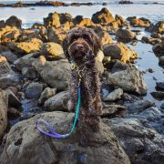 Labradoodle at ocean wearing waterproof biothane martingale and dog leash
