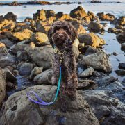 Labradoodle at ocean wearing waterproof biothane martingale and dog leash