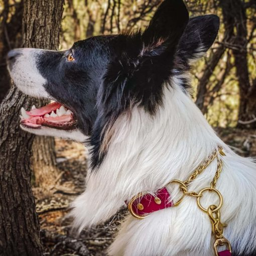 Border Collie wearing burgundy biothane martingale collar in brass