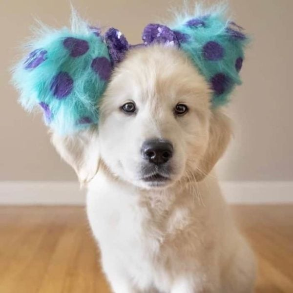 Golden Retriever Puppy Wearing Turquoise and purple spotted mickey ears