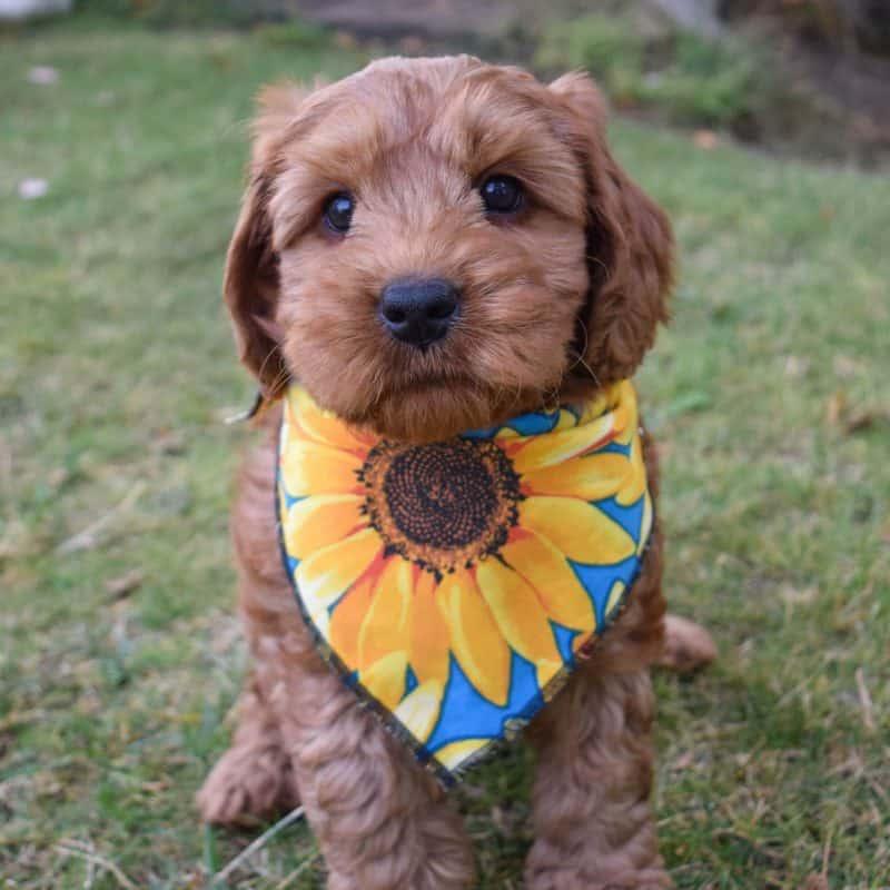 Sunflower Dog Bandana