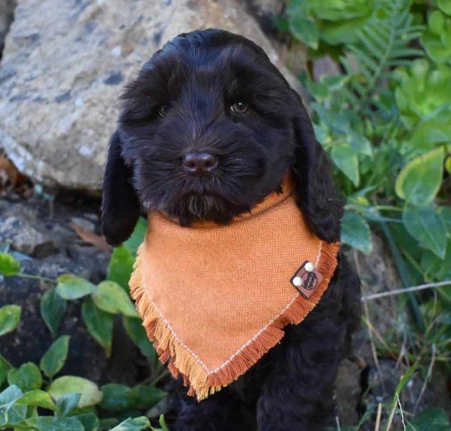 Black Dog Wearing an Orange Frayed Bandana
