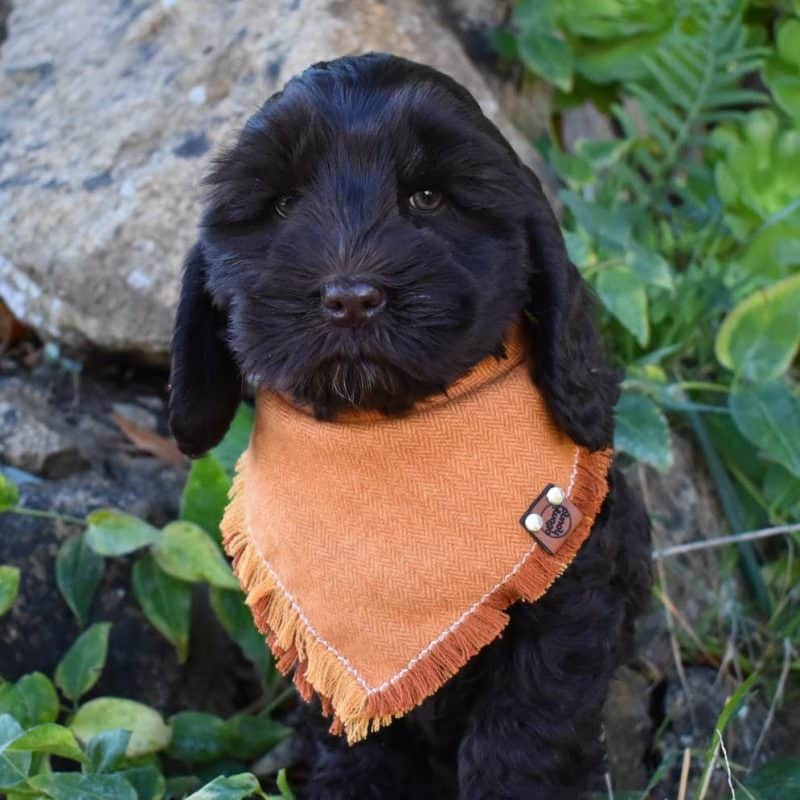 Pumpkin Spice Frayed Dog Bandana
