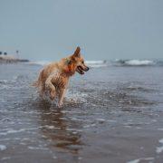 Golden retriever wearing waterproof orange biothane dog collar ocean