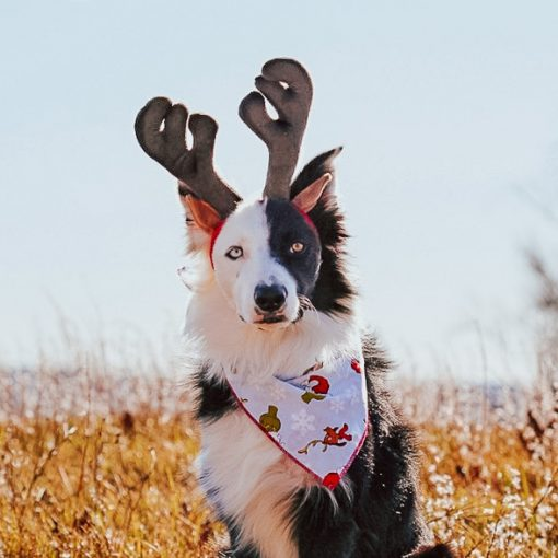 Black and white border collie wearing reindeer ears and grinchmas bandana