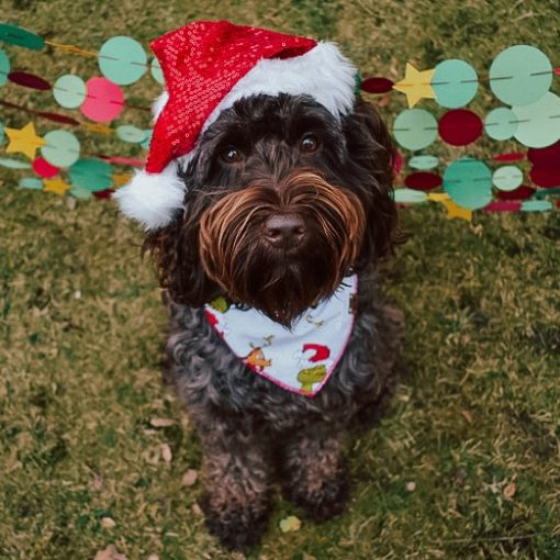 Labradoodle wearing a santa hat and grinchmas bandana