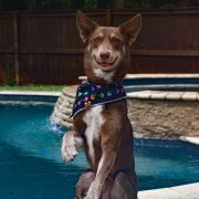 Brown dog wearing a rainbow palm tree dog bandana in front of pool