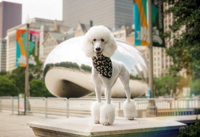 White poodle rainbow dog bandana Chicago