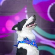 Border Collie wearing a rainbow dog bandana in front of bright mural art wall