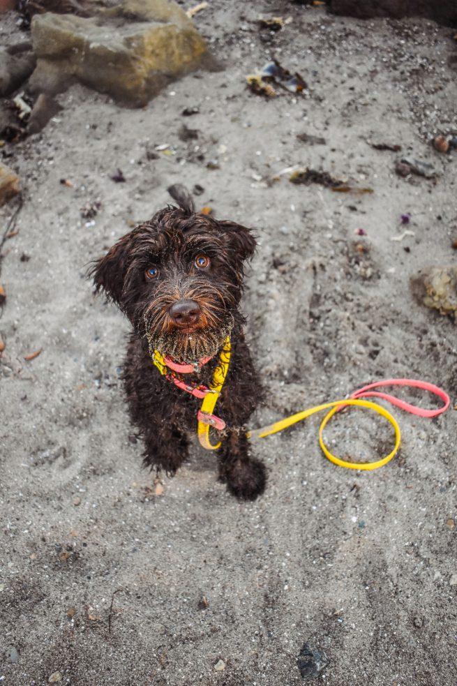 Labradoodle biothane slip dog leash