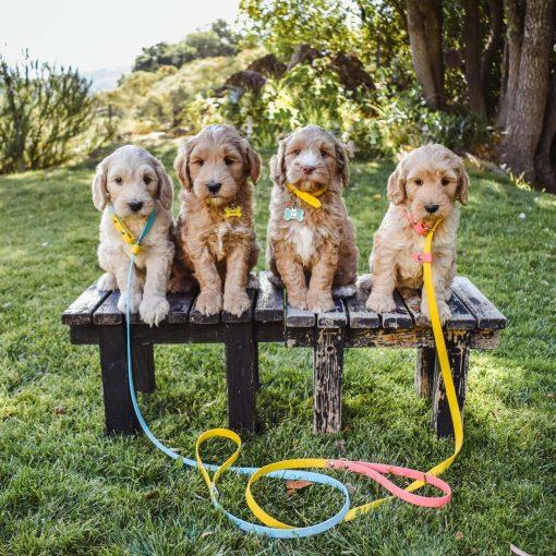 Labradoodle puppies biothane slip dog leash