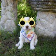 Labradoodle puppy wearing a Pineapple Dog Bandana