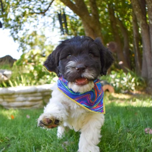 Labradoodle puppy rainbow bandana