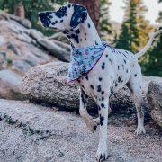 Dalmation wearing a patriotic 4th of July dog bandana