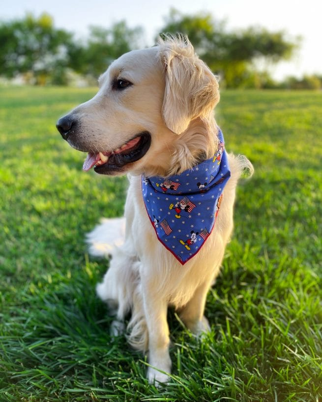 Golden Retriever wearing a patriotic 4th of july blue dog bandana