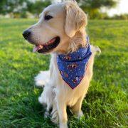 Golden Retriever wearing a patriotic 4th of july blue dog bandana