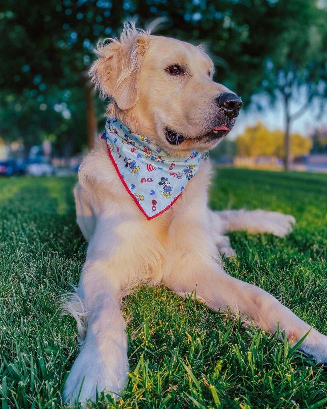 Golden Retriever wearing a patriotic 4th of July dog bandana