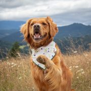 Golden retriever cream floral dog bandana