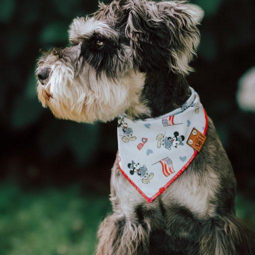 Shnauzer wearing a patriotic 4th of July dog bandana