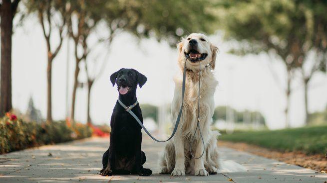 Black lab puppy and golden retriever with biothane slip leash