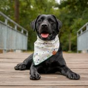 Black lab wearing a floral cream dog bandana