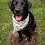 Black lab wearing a cream floral dog bandana