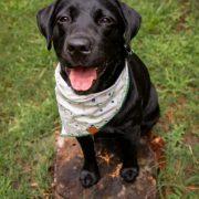 Black lab wearing a cream floral dog bandana