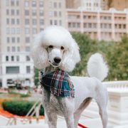 White poodle wearing a blue frayed dog bandana