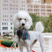 White poodle wearing a blue frayed dog bandana