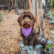 Labradoodle wearing a purple tie dye dog bandana