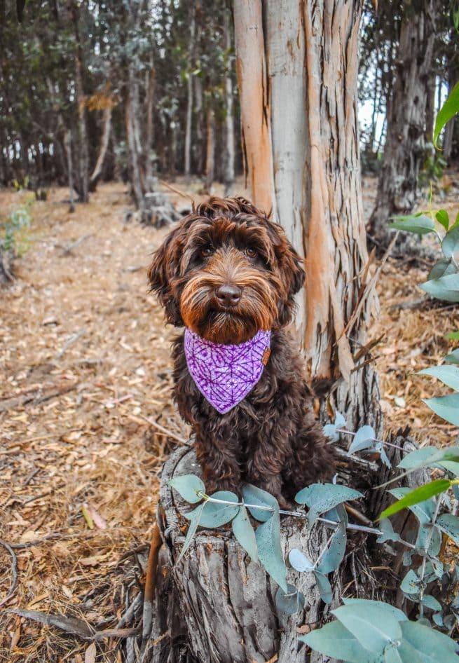 Labradoodle wearing a purple tie dye dog bandana