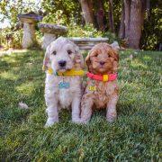 Labradoodle puppies wearing collars