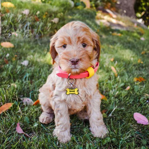 Puppy wearing a biothane collar