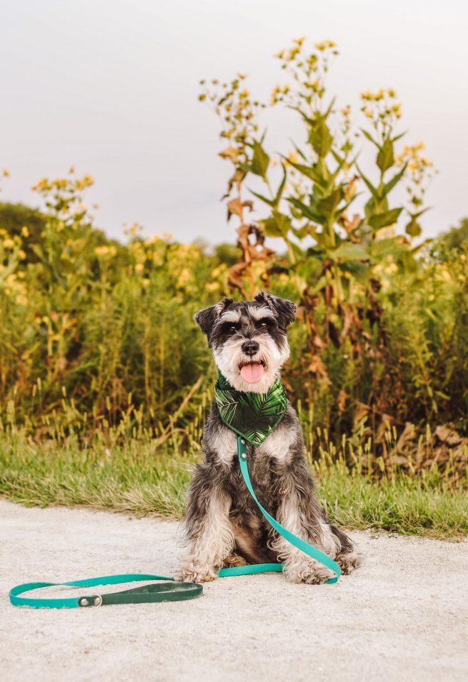 Palm tree dog bandana on a schnauzer wearing a teal leash