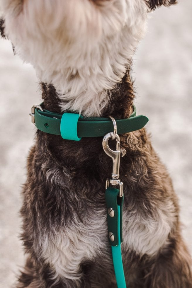 "Green and blue 5/8"" Adventure Dog Collar on schnuazer"