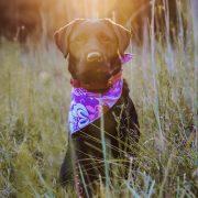 Pink and purple flower dog bandana on black lab
